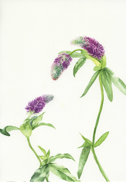Clover. Painting by Courtney Clare, 2012. BBG Class: Painting Aromatic and Culinary Herbs.