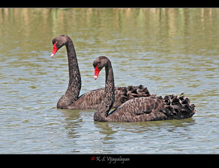 Black Swans, Australia