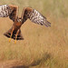 Montagu's Harrier (Circus pygargus) female takeoff by Rajiv Lather