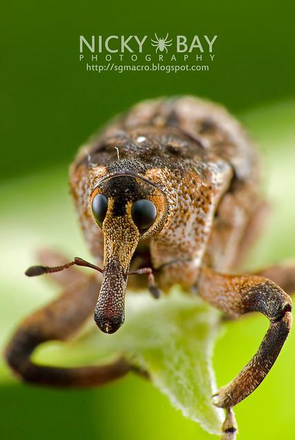Weevil (Curculionidae) - DSC_9412