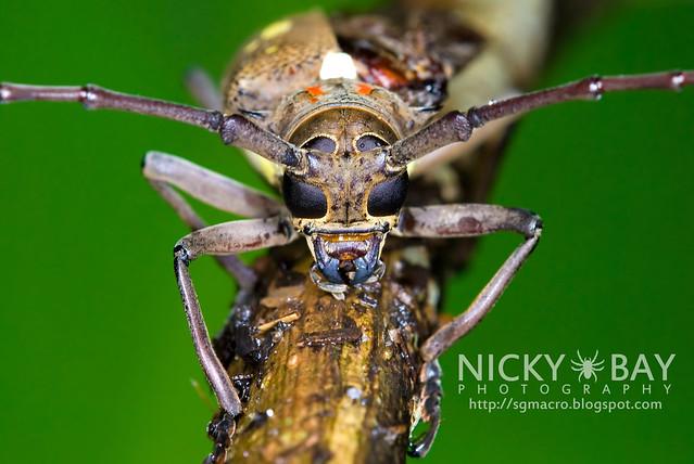 Longhorn Beetle (Batocera rubus) - DSC_9135