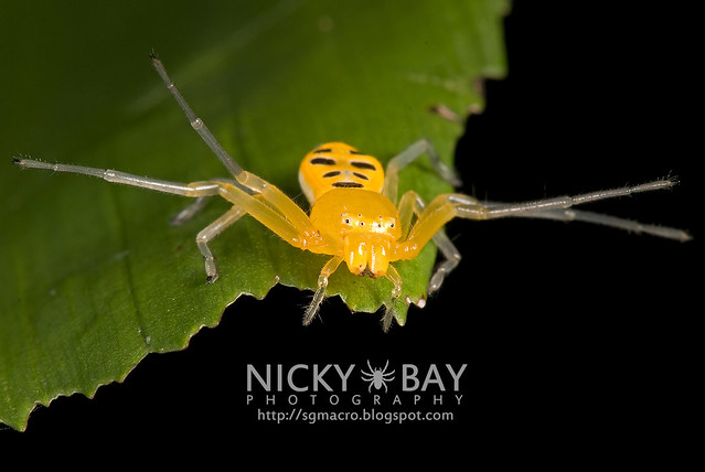 Eight-Spotted Crab Spider (Platythomisus octomaculatus) - DSC_9999