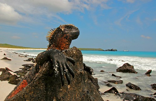 Marine Iguana enjoys the view