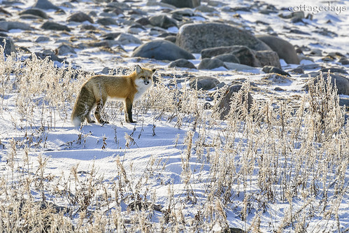 red fox looking for dinner