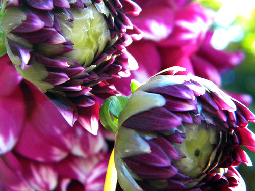 Purple Dahlia in September