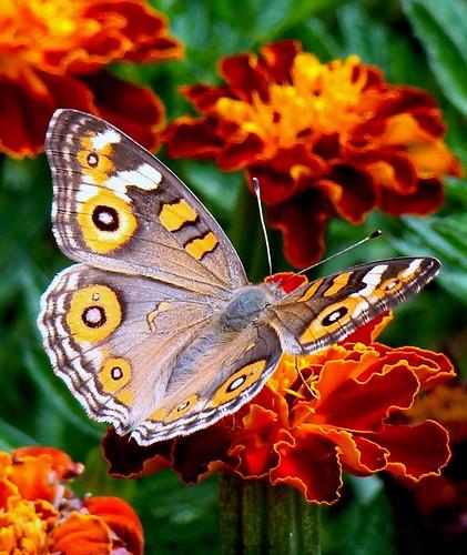 Butterfly, Hyde Park, Sydney