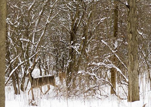 Two Deers!
