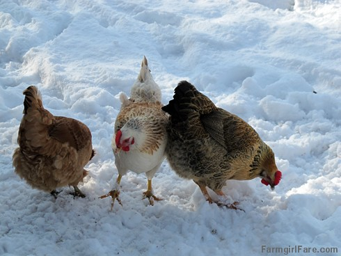 Chickens inspecting the snow - FarmgirlFare.com