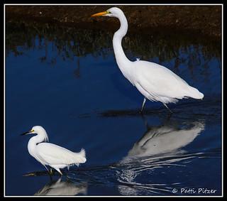 bolsa chica egrets 0624