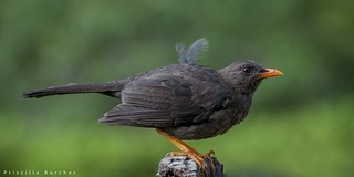 Turdus fuscater female (Great Thrush)
