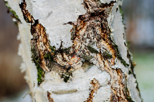Bark of Betula - Miłocin