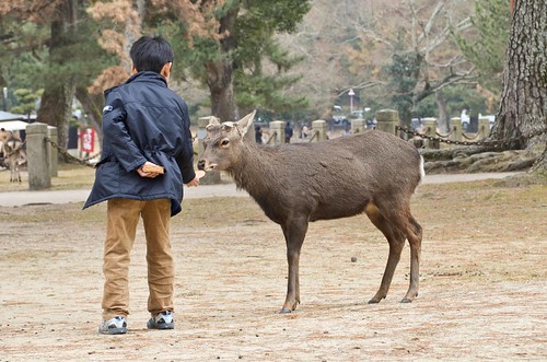 Boy Feeding a Nara Deer