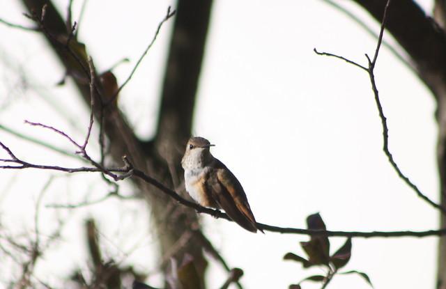 Rufous Hummingbird - Burlington County, New Jersey