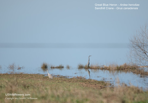 andhill Crane and Great Blue Heron at Hiwassee Wildlife Refuge by USWildflowers, on Flickr