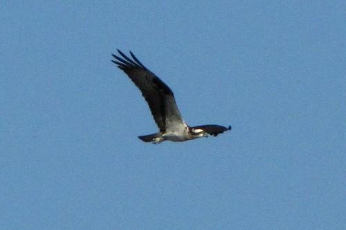 IMG_7224_Osprey