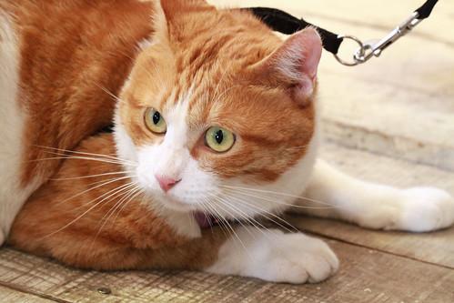 Japanese cat Chato