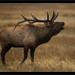 Rocky Mountain NP Elk I-1 by mikecullivan