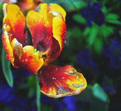Tulipped