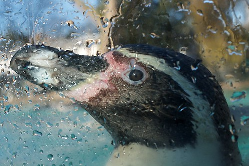 Penguin portrait by davidkhardman