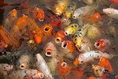 Suzhou Fish