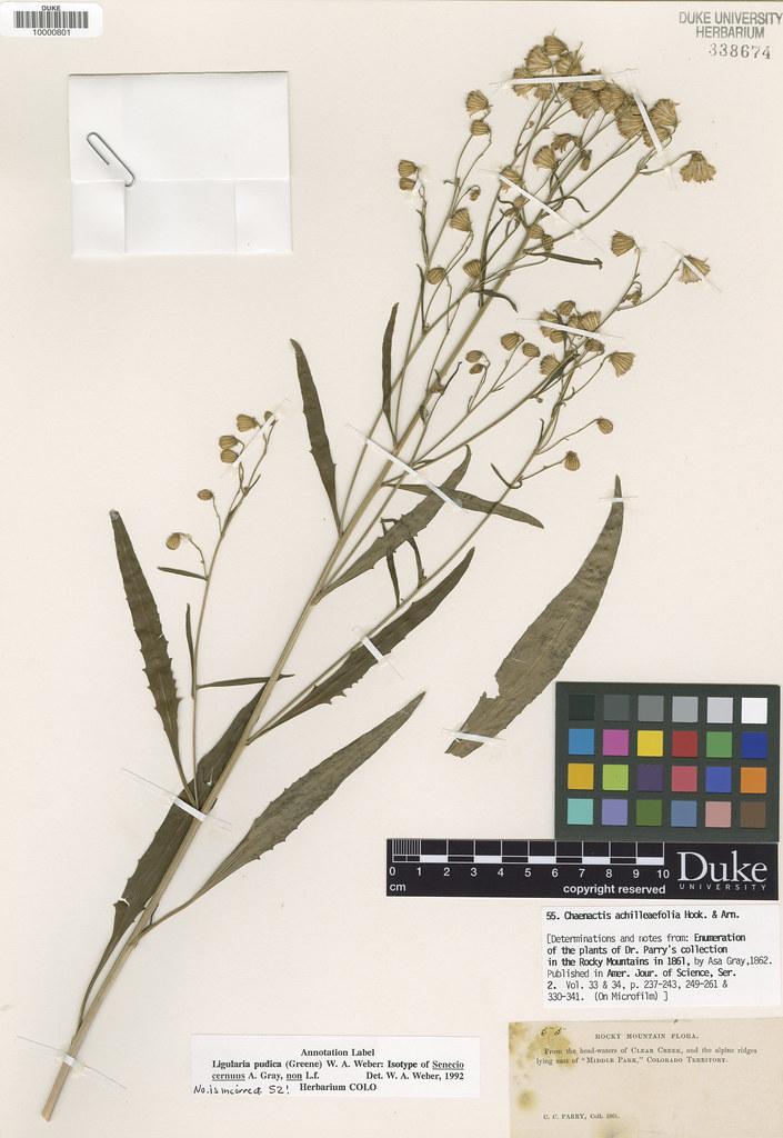Asteraceae_Senecio cernuus2