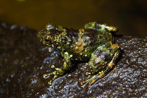 small frog, Madagascar