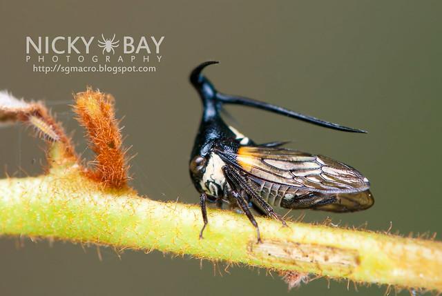 Treehopper (Membracidae) - DSC_2246