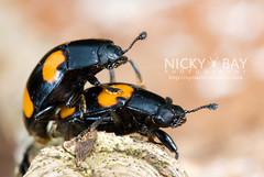 Fungus Beetles - DSC_9467