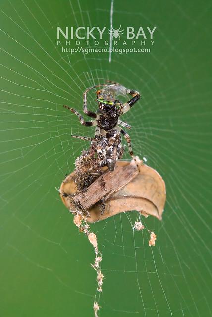 Orb Weaver Spider (Cyclosa insulana) - DSC_1842