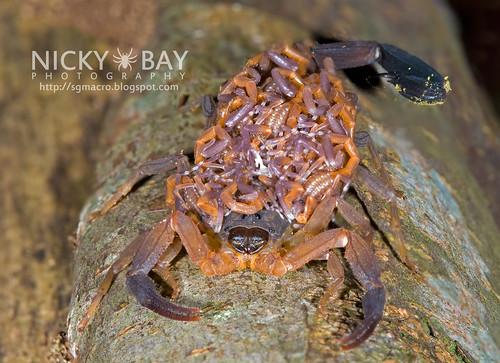 Scorpion (Lychas scutilus) - DSC_8924