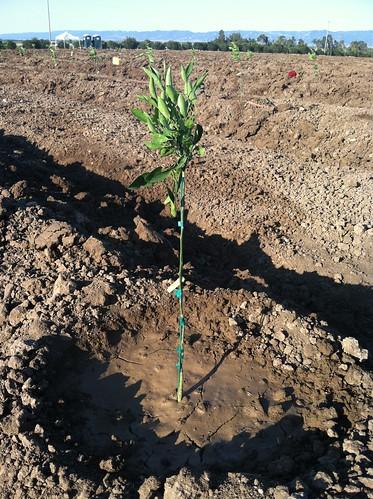 Planting a New Satsuma Mandarin Orchard