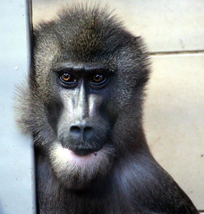 animal, baboon, monkey, mammal, fauna, drill, old world monkey, macaque, ape,