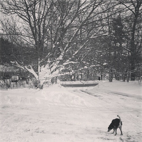 Tut sniffing out the new #snow ... #driveway just cleared #newengland #dogstagram #hound #happydog