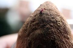 sprouting sweet potato 024