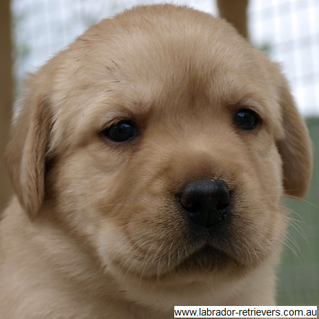 yellow Labrador puppy close-up