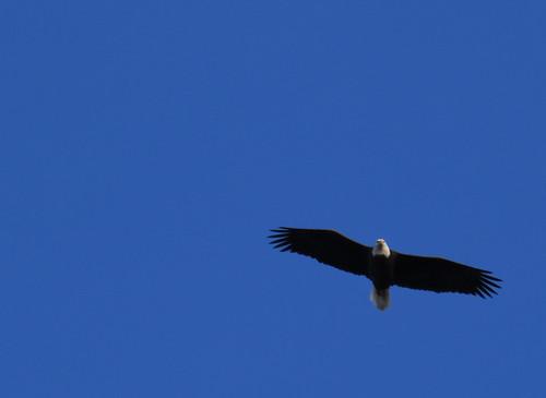 crop_eagle_IMG_1765e