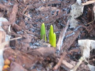 stubborn as tulips