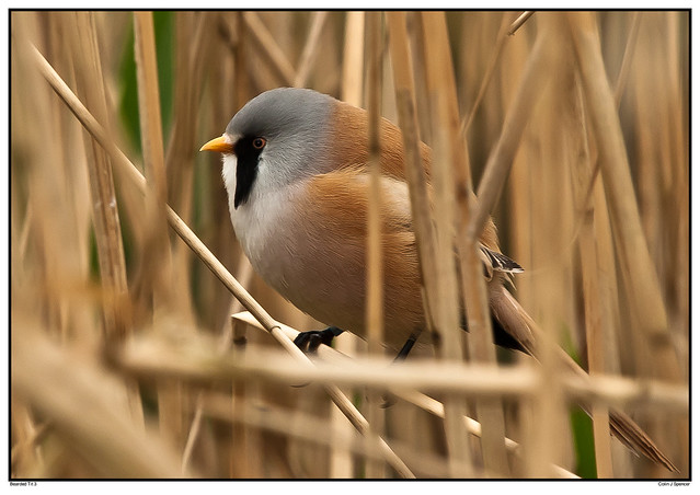 Bearded Tit 3