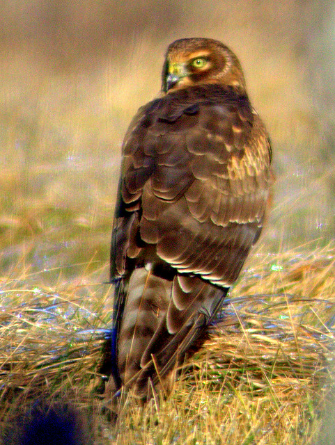 Northern Harrier 4-20130114