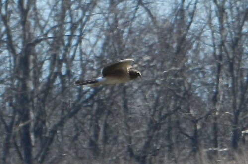 Far Northern Harrier