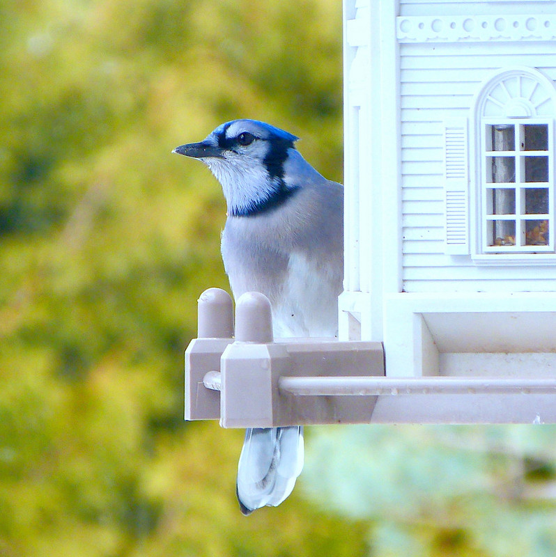 The Blue Jay At My Window