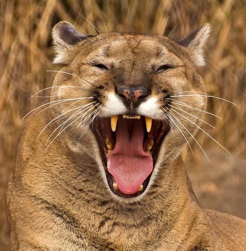 [フリー画像素材] 動物 (哺乳類), 哺乳類 (その他), ピューマ, 欠伸・あくび, 笑顔・スマイル ID:201301301000