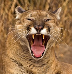 [Free Images] Animals (Mammals), Mammals (Others), Cougars / Pumas, Yawn, Laugh / Smile ID:201301301000