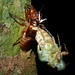 Small photo of Molting Cicada (Cicadidae)