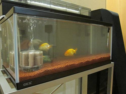 Goldfish Feb. 5, 2013 (2)