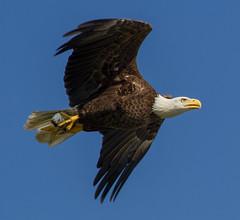 IMG_7583 Bald Eagle with prey