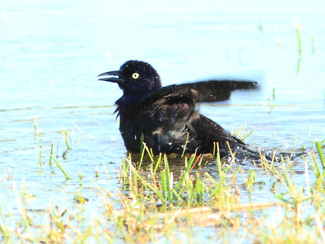 Common Grackle 2-20121207