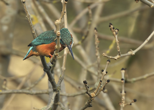 Kingfisher on the lookout for a snack by Andy Pritchard - Barrowford