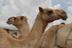 Camel Market (45)