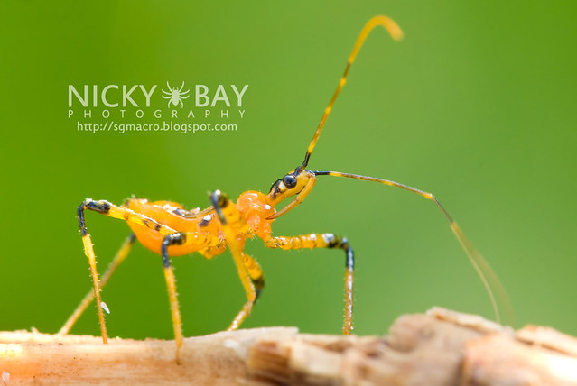Assassin Bug (Reduviidae) - DSC_9641